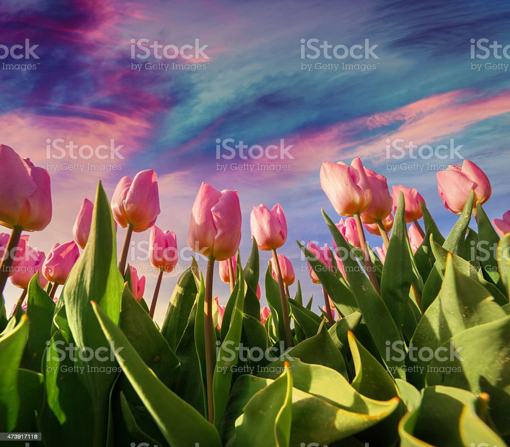 Springtime pink tulips blossom on the Netherlands farm​​​ foto