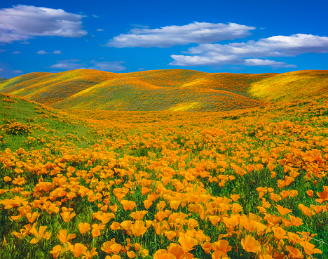 Springtime poppy super bloom at Antelope Valley CA