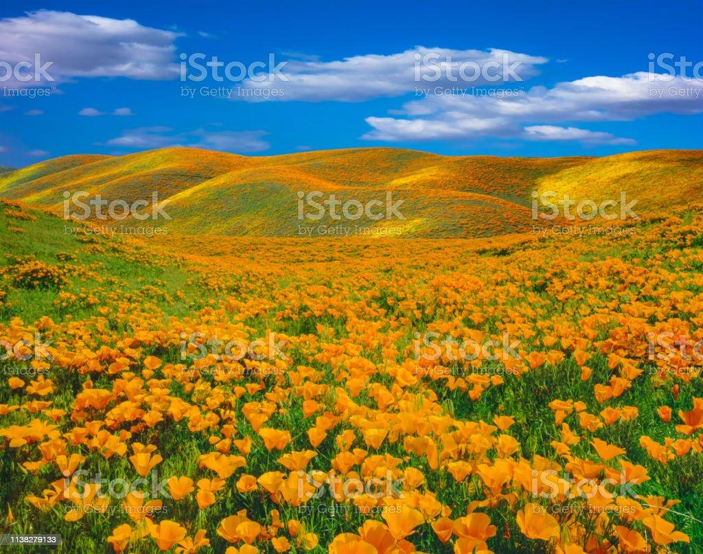 Springtime Mohn Superblüte in der Antelope Valley CA – Foto