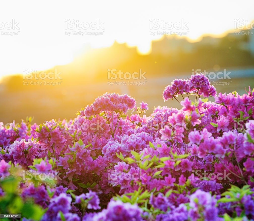 Springtime Rhododendron blooms in Seoul at sunset bildbanksfoto
