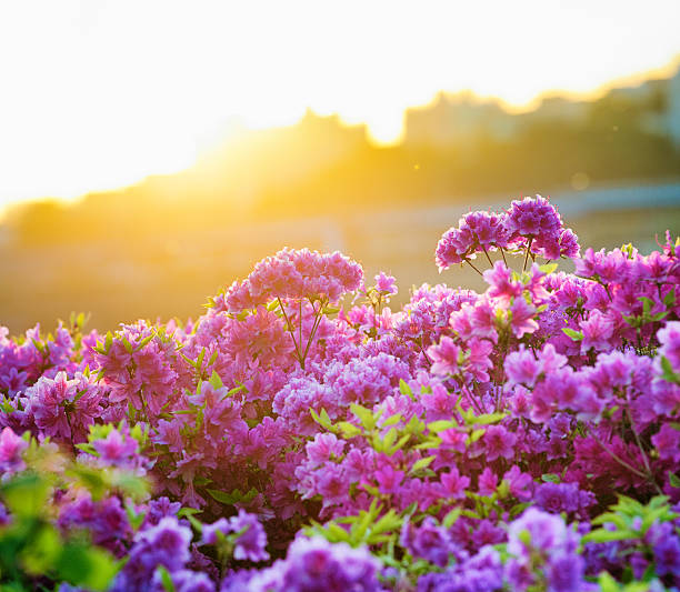 Springtime Rhododendron blooms in Seoul at sunset stock photo