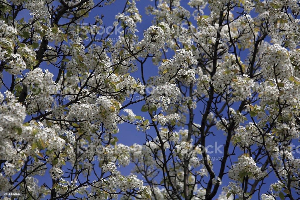 Springtime Trees in Washington DC royalty-free stock photo