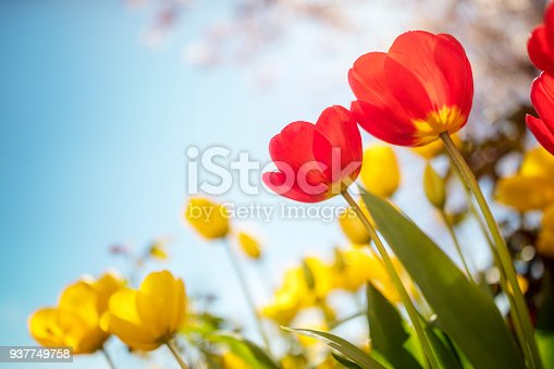 Springtime tulip flowers and cherry blossom against a blue sky in the sunshine