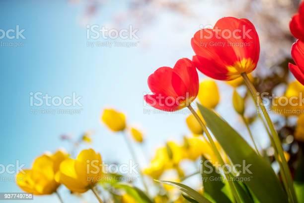 Springtime tulip flowers against a blue sky in the sunshine picture id937749758?b=1&k=6&m=937749758&s=612x612&h=7amljiydok49f mnxexg8rfblv9641vo3s5h2lekfj4=
