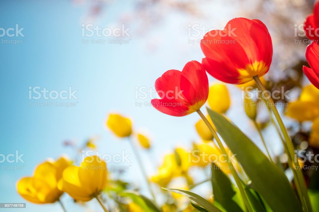 Springtime tulip flowers against a blue sky in the sunshine stock photo
