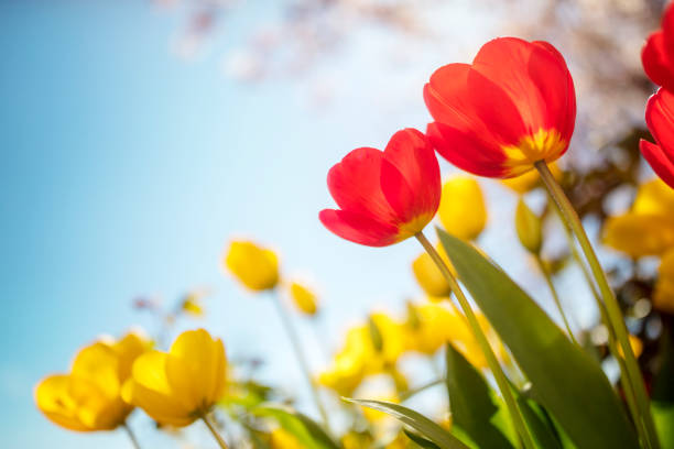 springtime tulip flowers against a blue sky in the sunshine - spring stock pictures, royalty-free photos & images