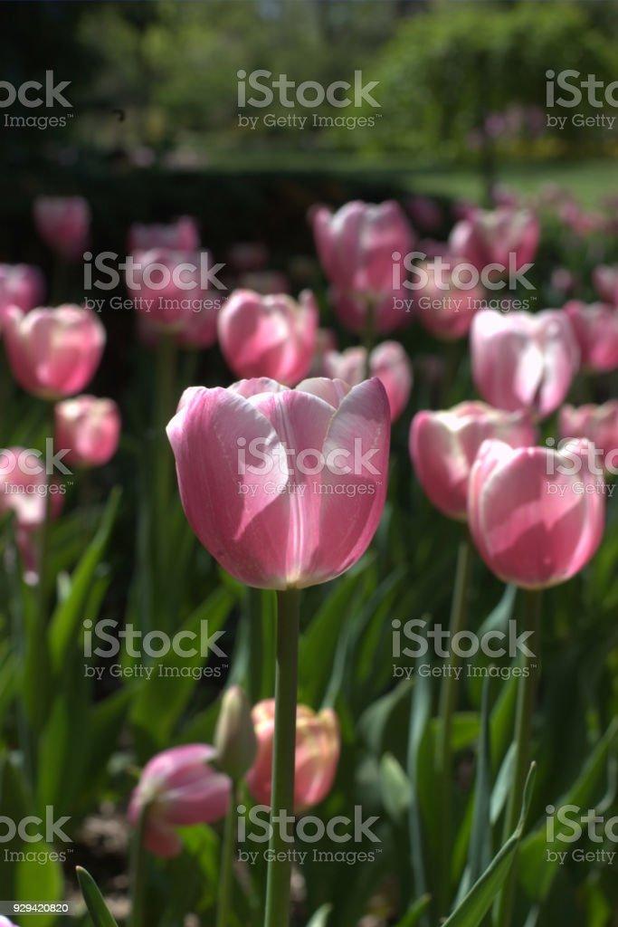 Springtime tulip garden stock photo