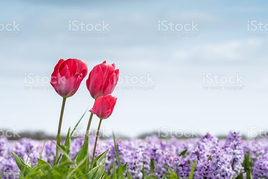 Springtime tulips growing in a field full of rich color foto