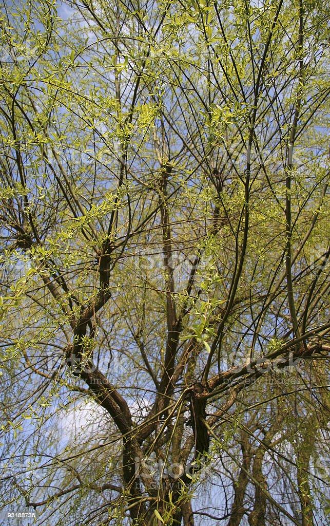 Springtime Willow royalty-free stock photo