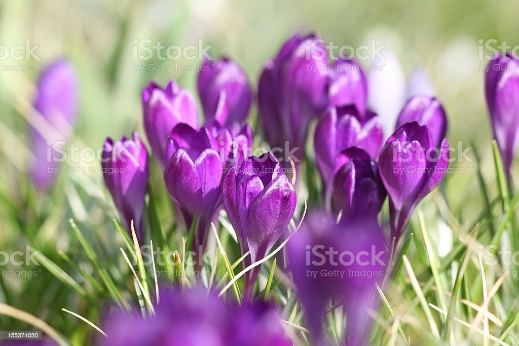 springtime with blooming Crocus biflorus royalty-free stock photo