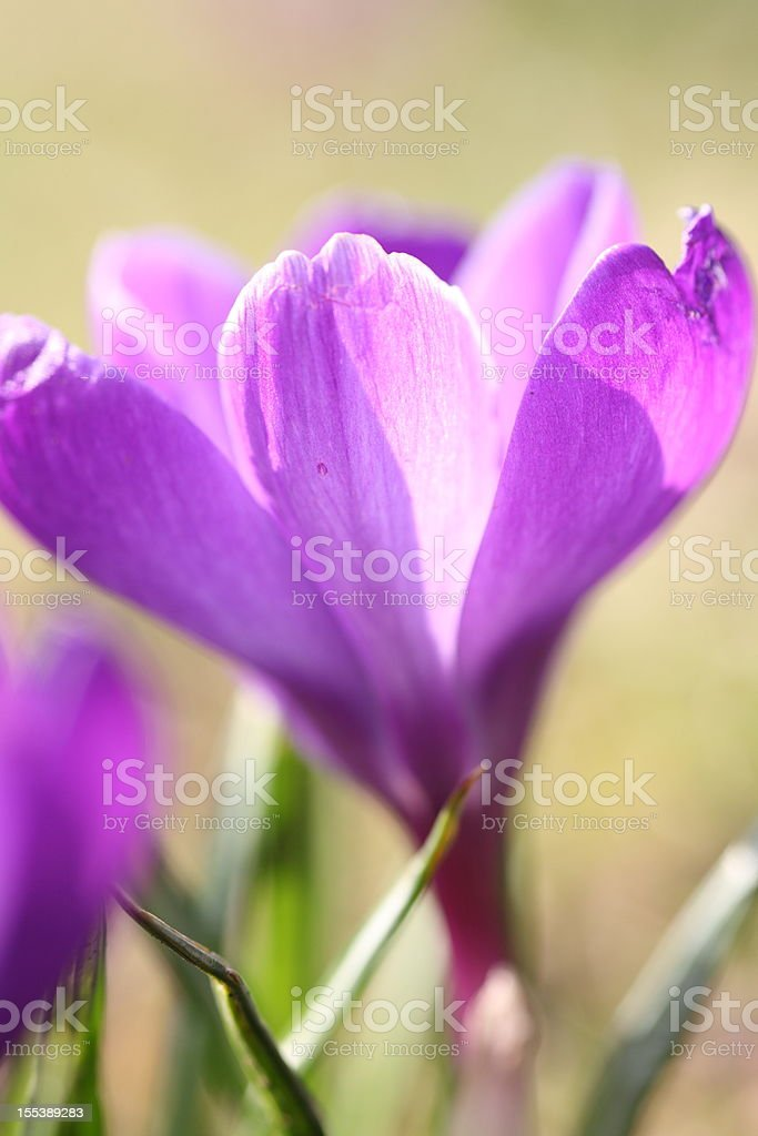 springtime with blooming crocus royalty-free stock photo