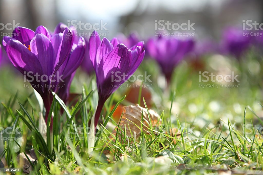 springtime with crocus focus on flower royalty-free stock photo