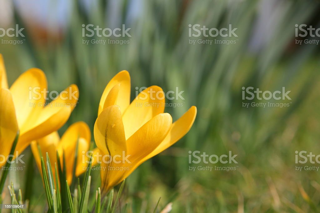 springtime with yellow blooming crocus royalty-free stock photo