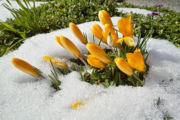 Frühling mit gelbe Krokus – Foto