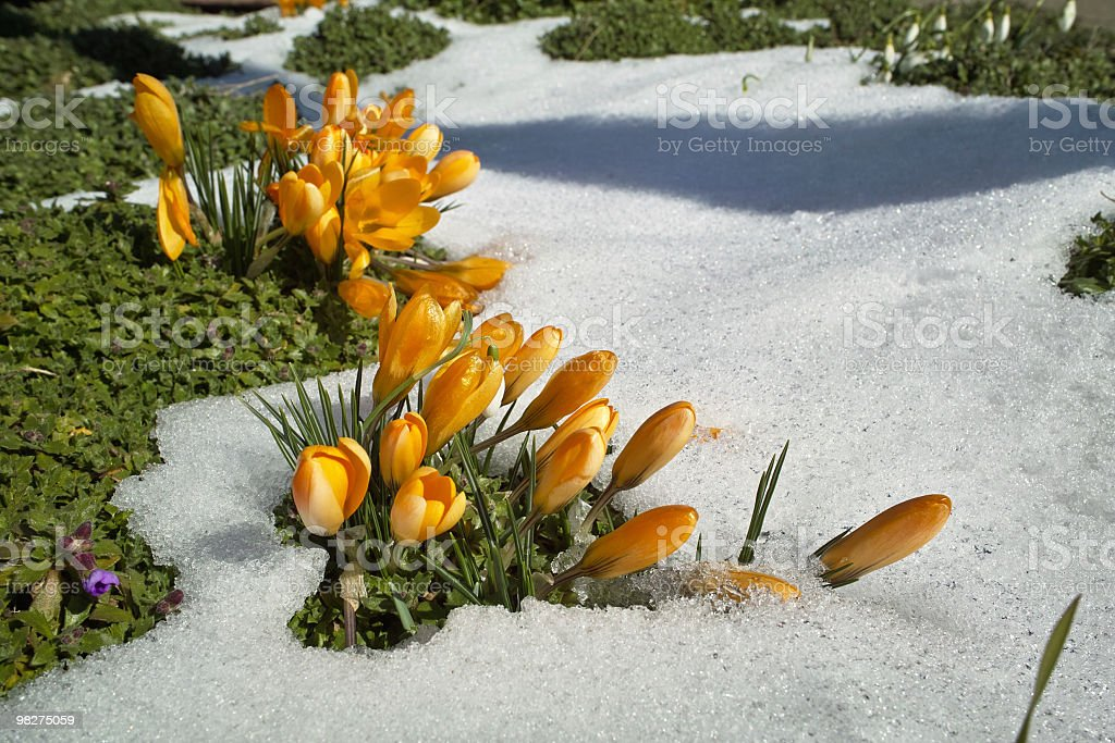 springtime with yellow crosus and snow royalty-free stock photo