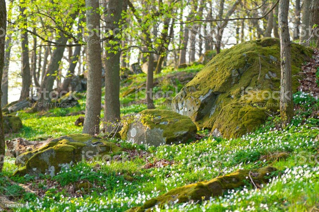 Springtime woods in evening light stock photo