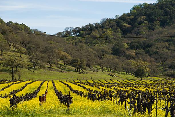 frühlings-amerikanischer senf felder ruhender weinberge napa kalifornien oak hills - robert weinberg stock-fotos und bilder