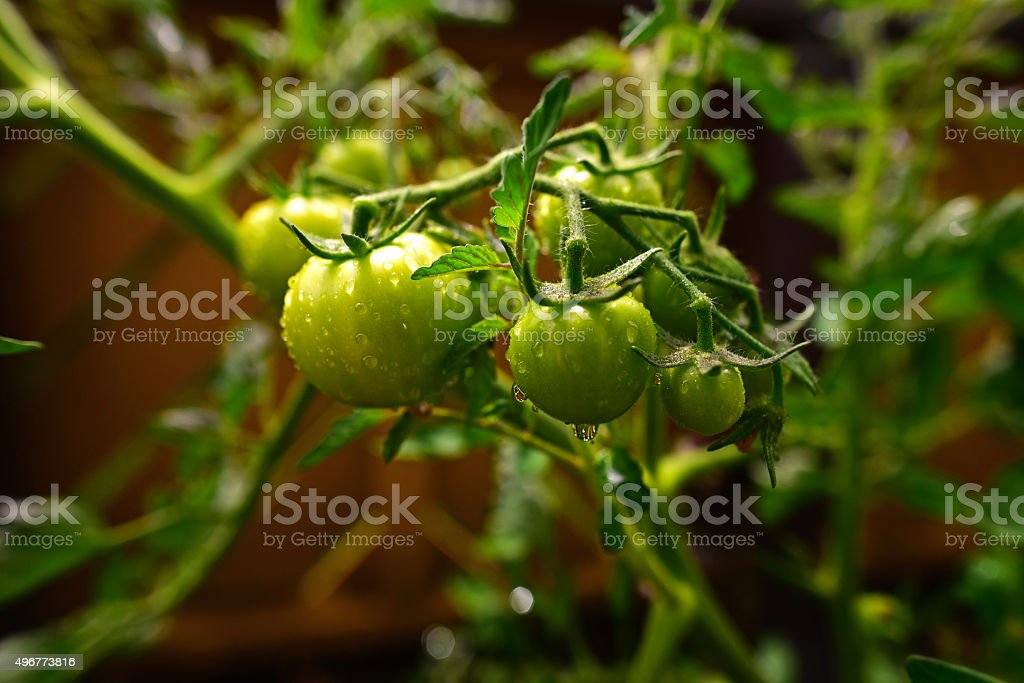 Sprinkled green tomatoes stock photo