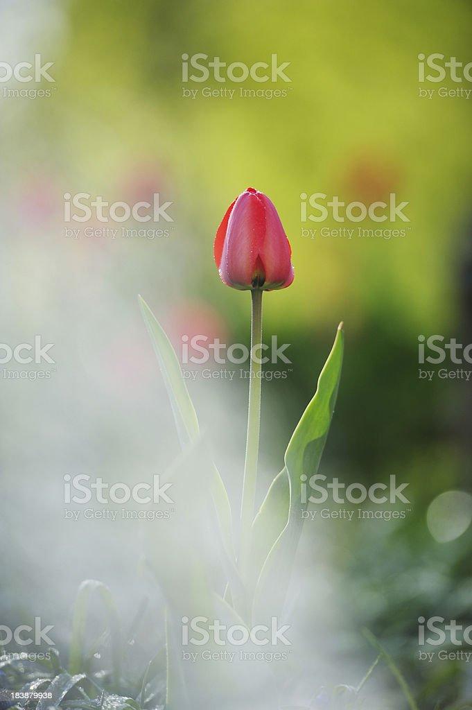 Sprinkler at work, tulip in backgrund stock photo