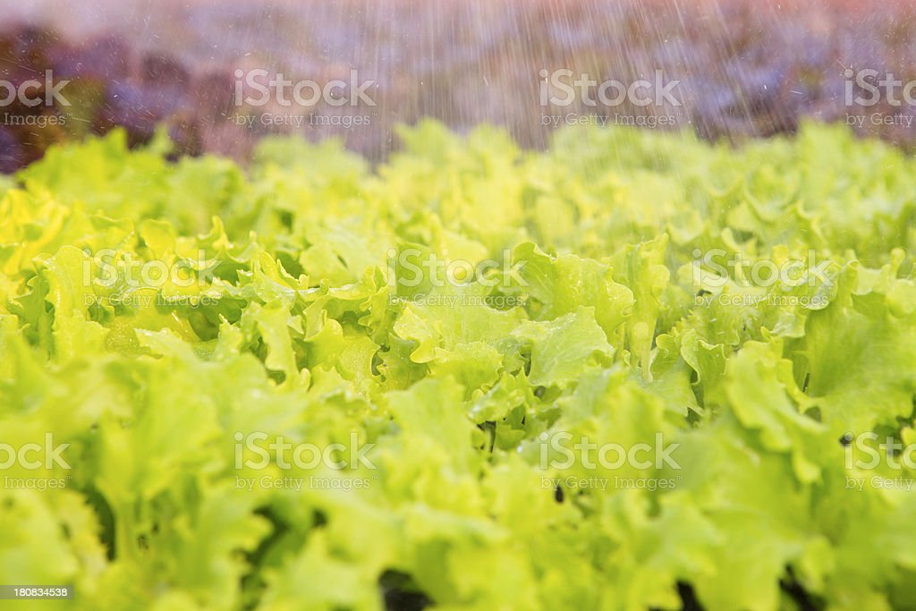 sprinkling of lettuce in a greenhouse royalty-free stock photo