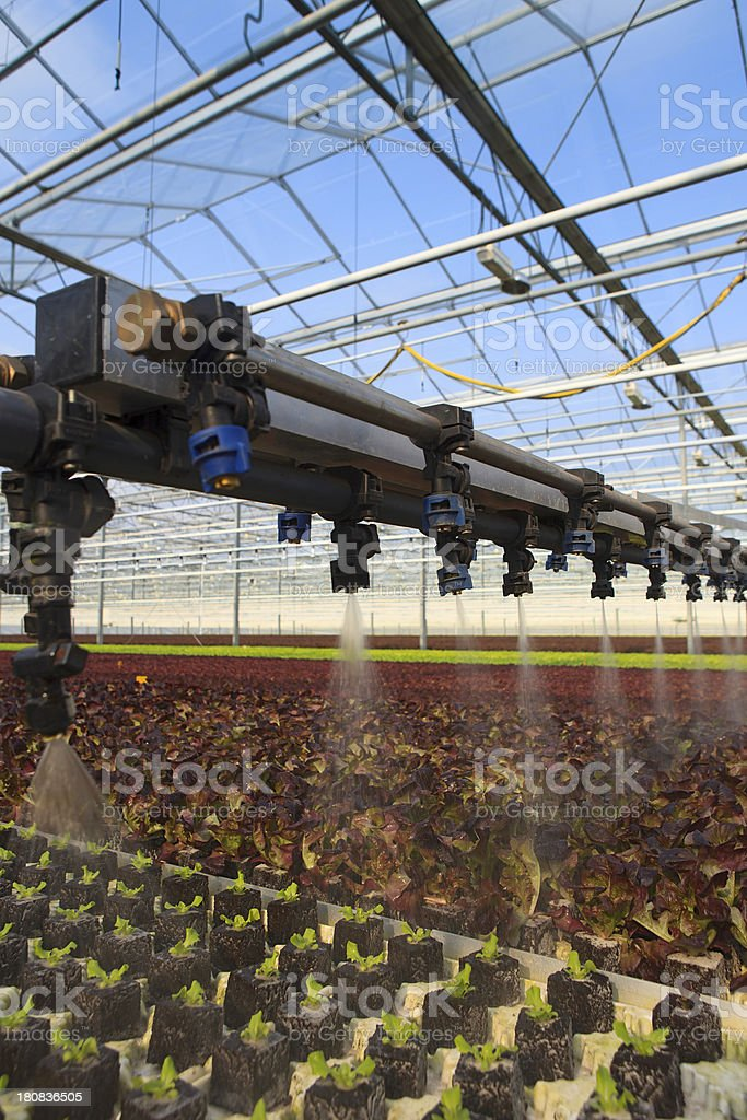 sprinkling of young lettuce plants in a greenhouse royalty-free stock photo