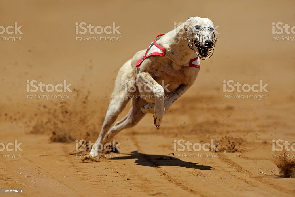 Sprinting greyhound royalty-free stock photo