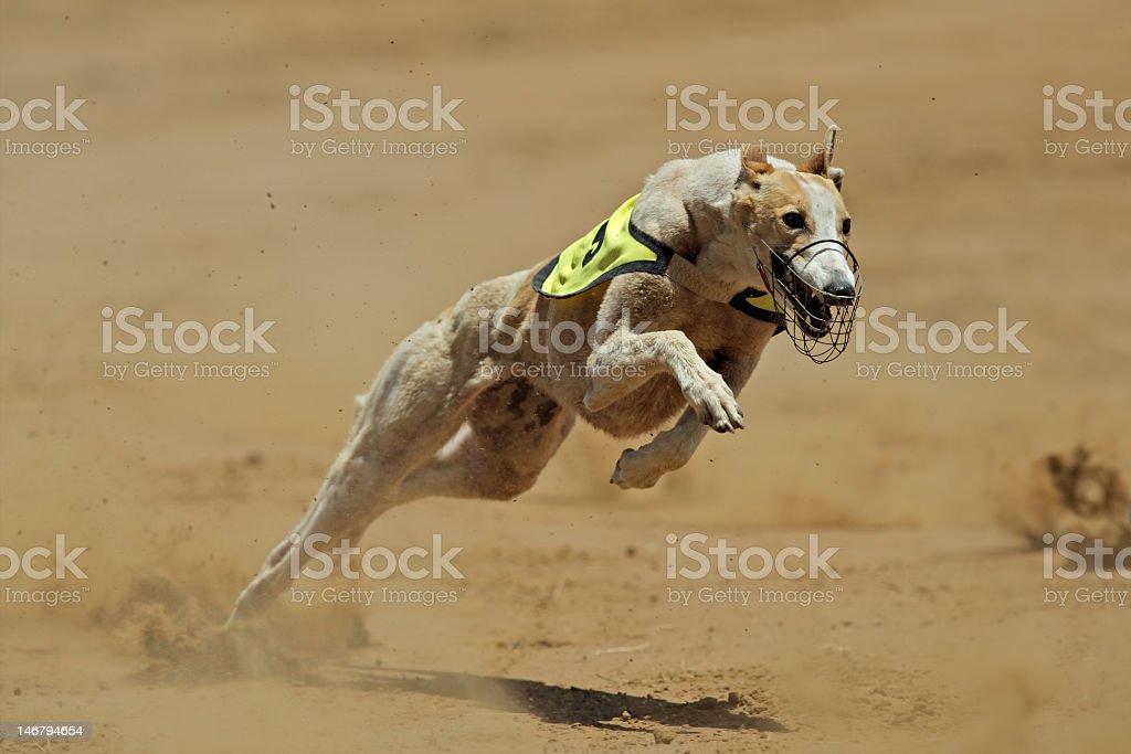 Sprinting greyhound racing dog on dirt stock photo