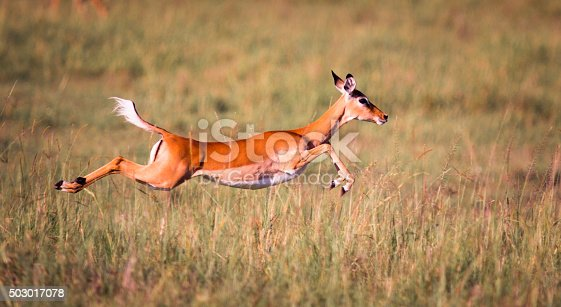 Female impala in full flight - Masai Mara, Kenya