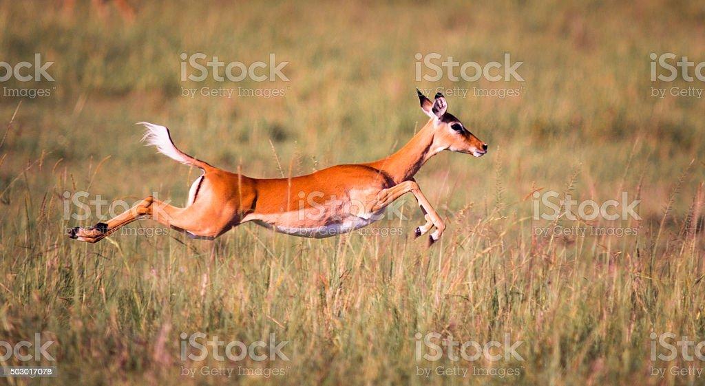 Sprint Impala – Foto