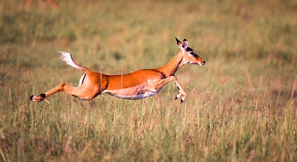 Sprinting Impala stock photo