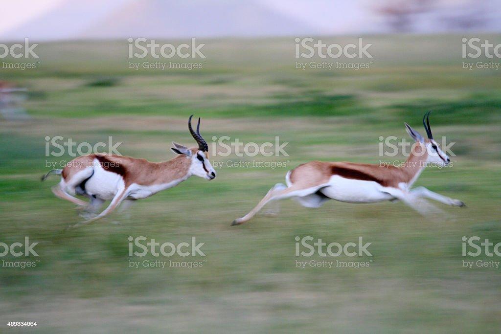 Sprinting Springboks stock photo
