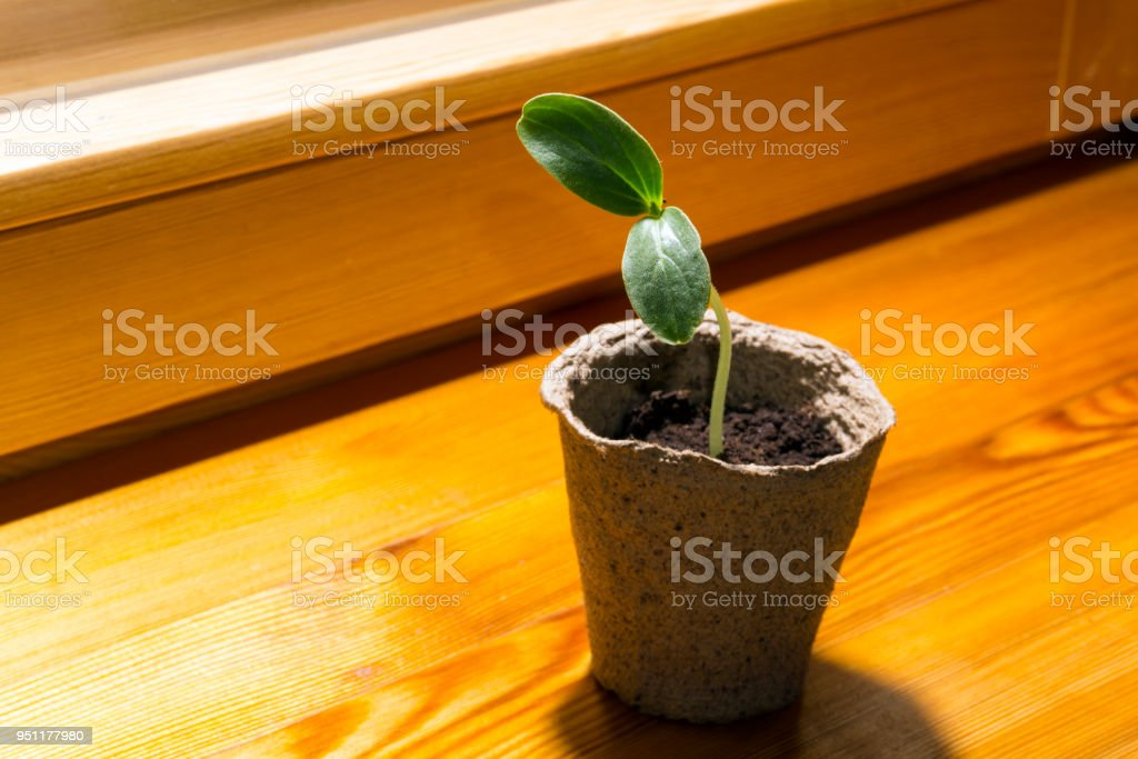 sprout in a peat pot on a windowsill stock photo