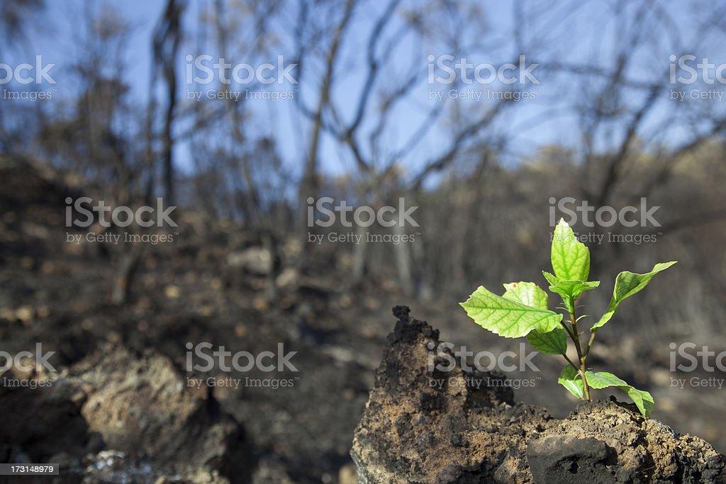Germen de bosques incendiadas - foto de stock