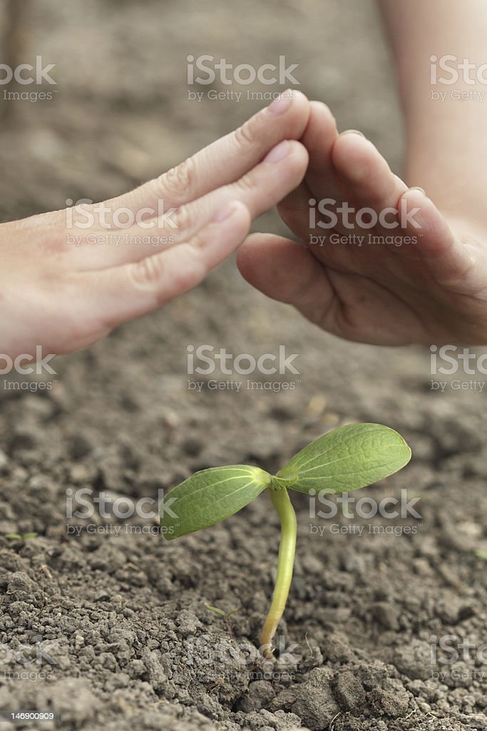 sprout in chld hands royalty-free stock photo
