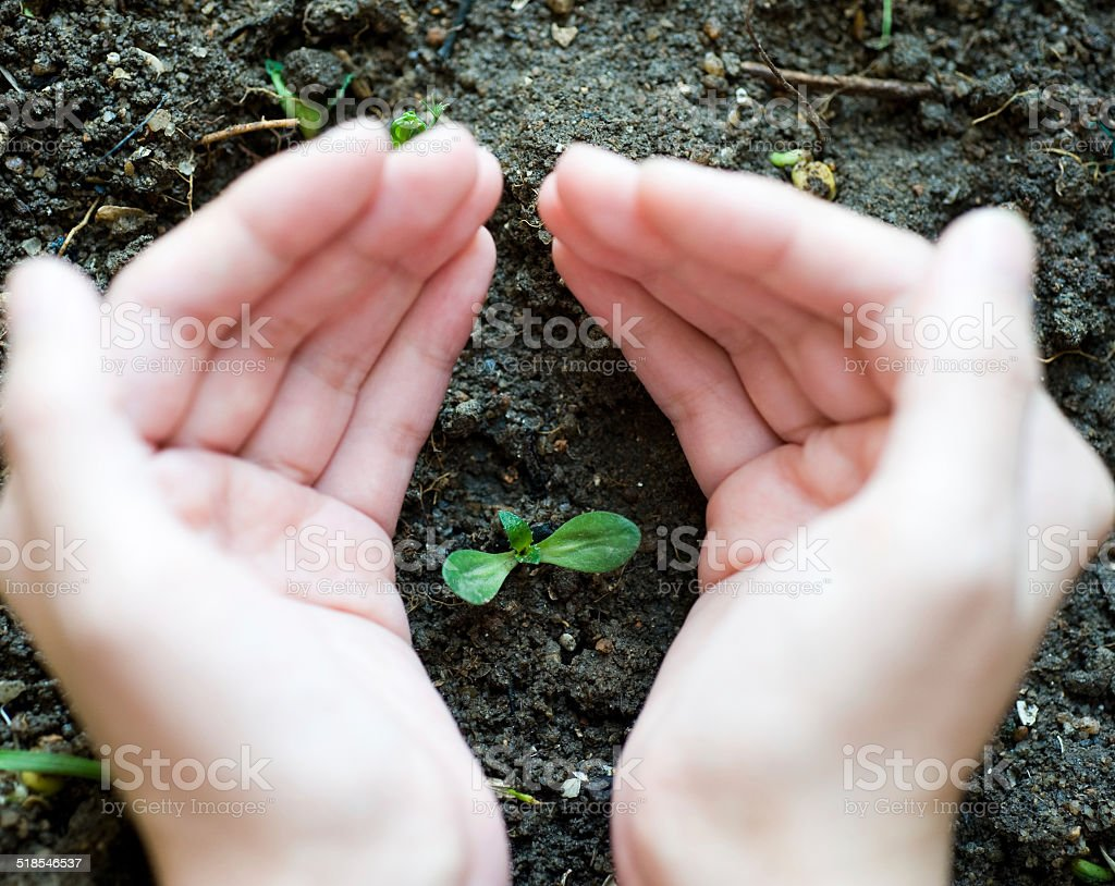 sprout in hand new sprout in girl's hand. Agriculture Stock Photo