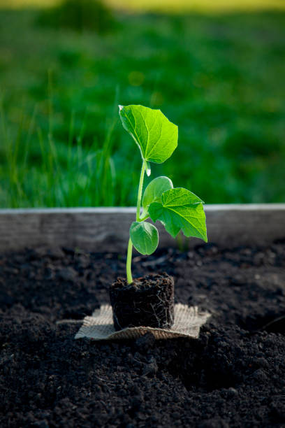 sprout in peat pot sprout in peat pot outdoors stem cell therapy stock pictures, royalty-free photos & images