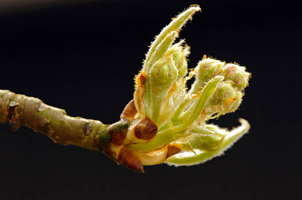 Sprout of common pear (Pyrus communis) – Foto