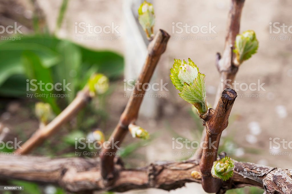 sprout of grapes stock photo