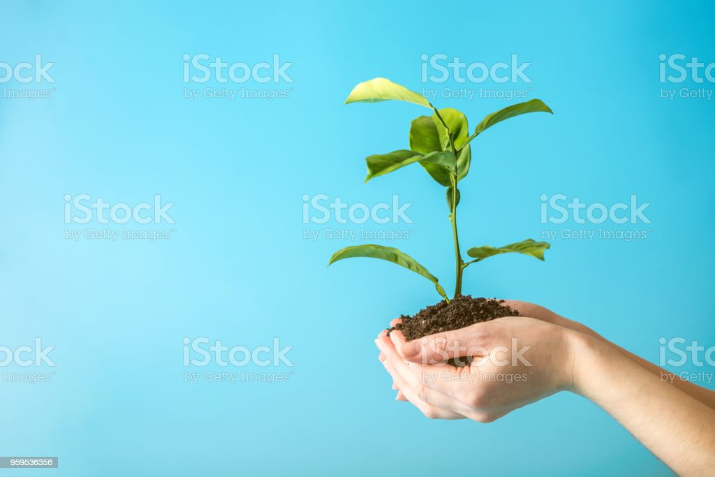 Sprout of new green tree in soil in human hands on blue background. Concept of environmental protection. Earth day stock photo