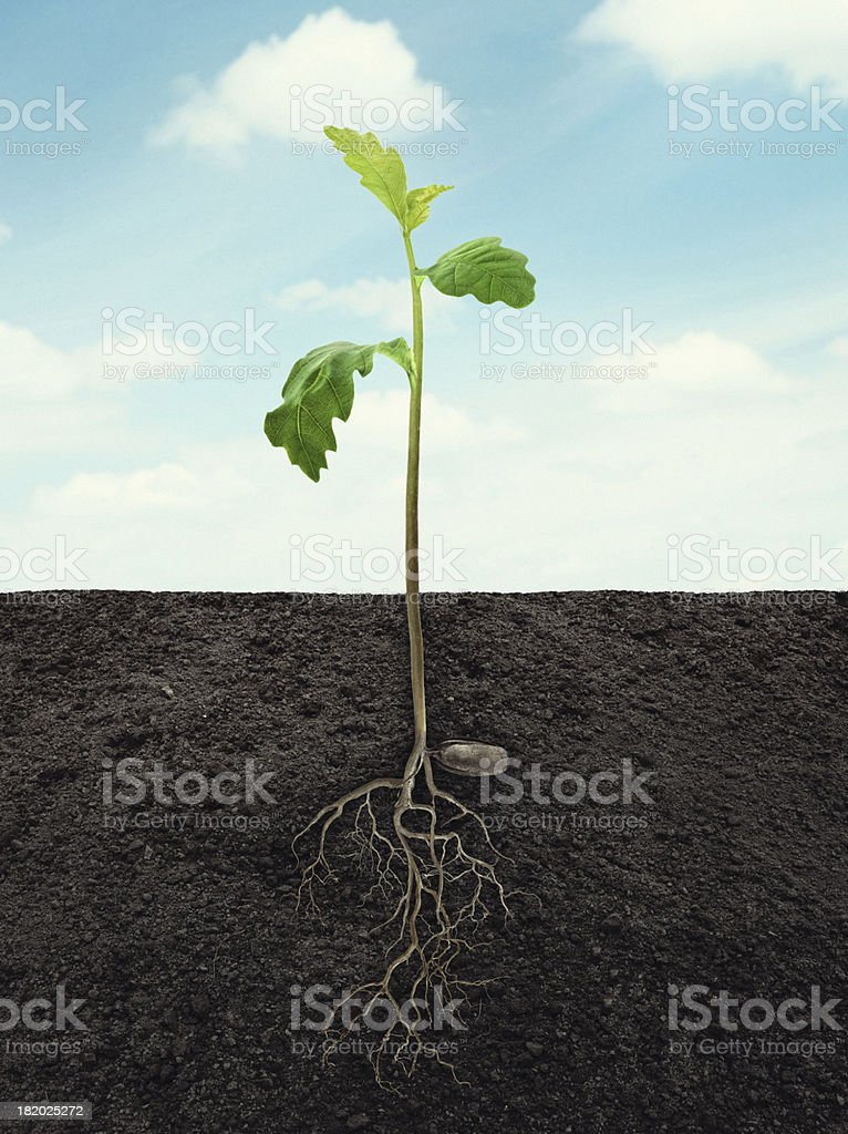 sprout of oak with root in ground at sky background royalty-free stock photo
