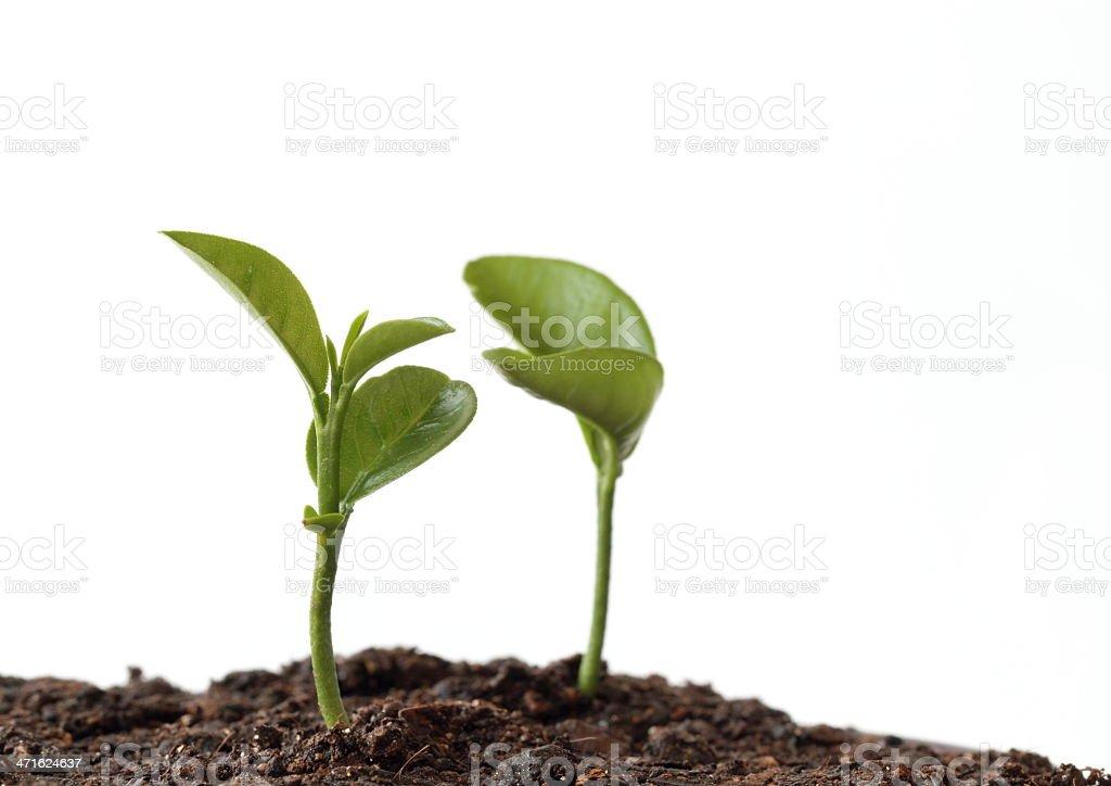 Sprout der kumquat – Foto