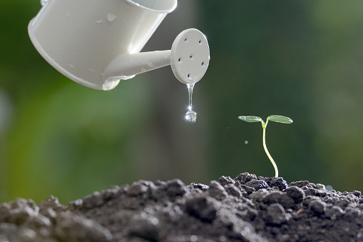 915680272 istock photo Sprout watered from a watering can on nature background 686890458