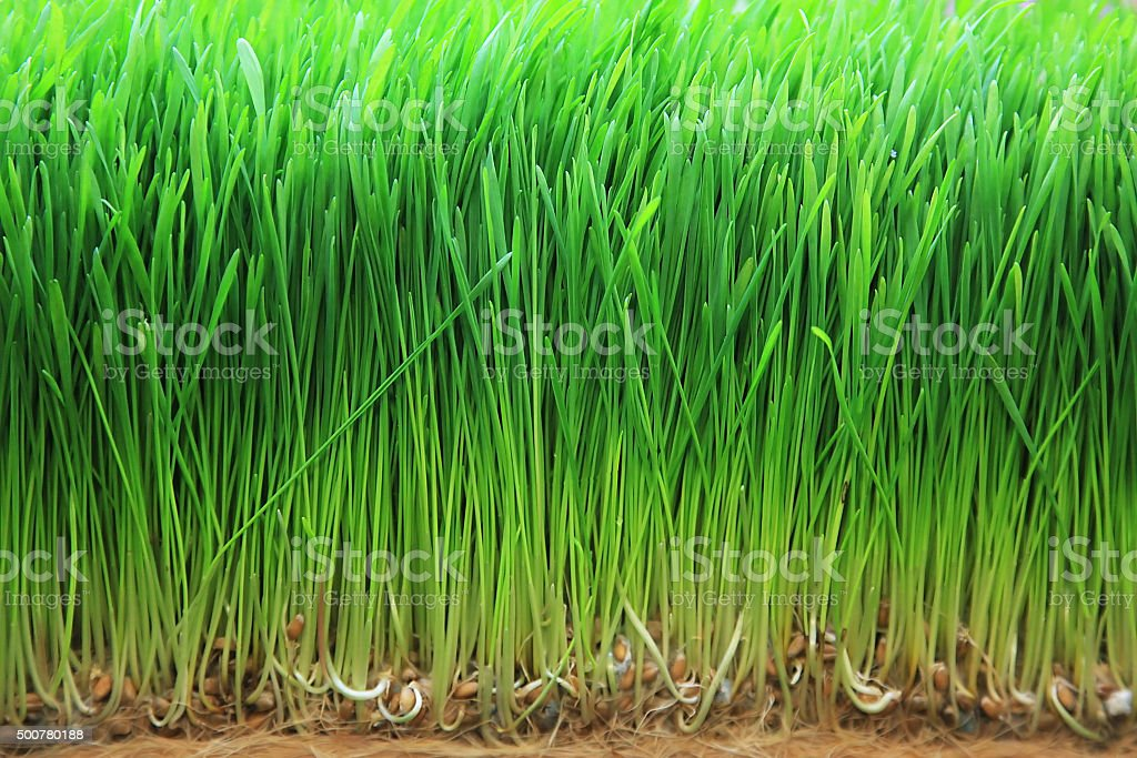 sprouted barley stock photo