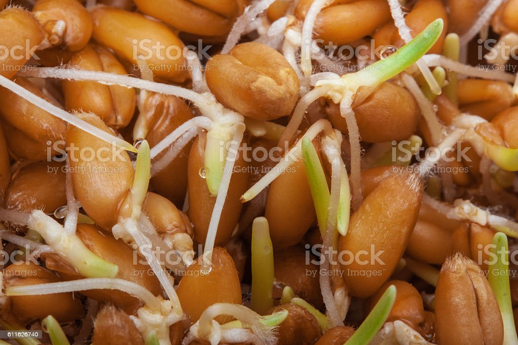 Sprouted grains of wheat closeup stock photo