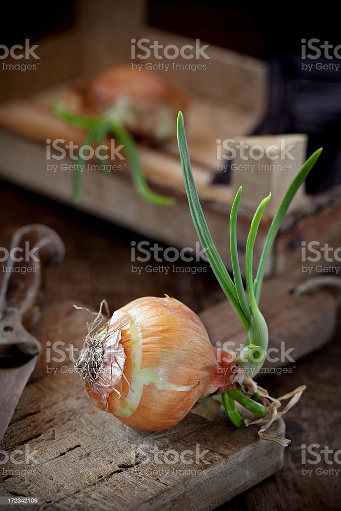 Sprouted onion bulb royalty-free stock photo