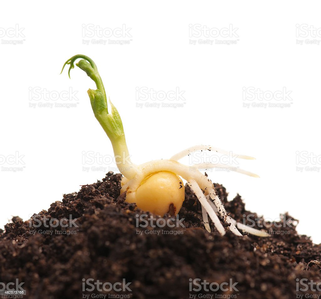 Sprouted pea stock photo