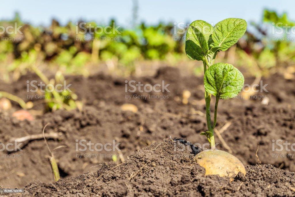 Tubérculos de batata germinados. Rebentos de batata de semente no fundo da plantação. Fundo agrícola com limitado profundidade de campo. - foto de acervo