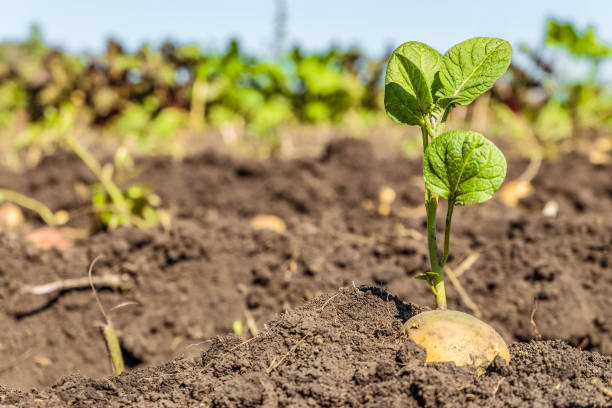 Sprouted potato tuber. Green shoots of potato seed on the background of the plantation. Agricultural background with limited depth of field. stock photo