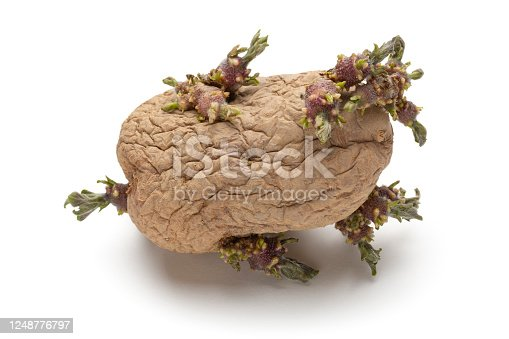 Sprouted potatoes photographed on white background