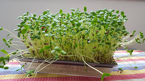 sprouted vegetables in water - linseed sprouts - pea sprouts bildbanksfoton och bilder